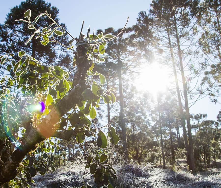 Dawn with frost  in Yerba Mate Forest